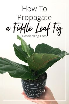 Wanting to propagate a Fiddle Leaf Fig? It's actually a simple process! Here's 3 methods you can use, read which one is best for your plant here. Planting Succulents, Planting Flowers, Fiddle Leaf Fig Tree, House Plant Care, Tree Care, Indoor Plants, Pot Plants, Indoor Gardening, Growing Tree