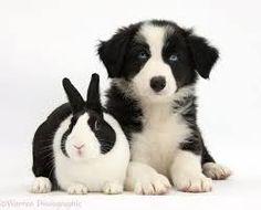 border collie pup - Google zoeken