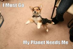 Corgi super dog