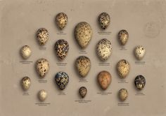 speckled eggs chart.