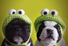 Frog Dogs #french #bulldogs