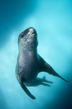 Leopard Seals weigh up to 1200 lbs and have been known to attack humans, even coming onto an ice floe to chase Thomas Orde-Lees (1877–1958), a member of Sir Ernest Shackleton's Imperial Trans-Antarctic Expedition of 1914–1917, across an ice floe.