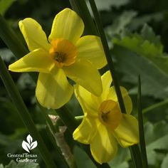Narcissus 'Falconet' a reliable naturalizer for Central Texas