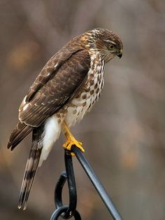 merlin falcon - Google Search In my backyard ... sitting on the rail of the deck.... Fri. 1/30/15 Probably thought my ducks looked like large pigeons...