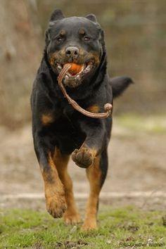Addi, Rottweiler, verträglich mit Katzen und Hunden