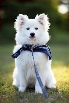 American Eskimo dog - Breed Profile:    Origin: Germany  Colors: White  Size: Medium  Type of Owner: Novice  Exercise: Moderate  Grooming: Little  Trainability: Very easy to train  Combativeness: Not generally dog-aggressive  Dominance: High  Noise: Likes to bark