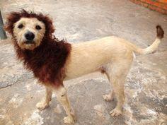 Uma moradora de São Carlos (SP) decidiu transformar seu cachorro em um leão para agradar os filhos. Os pelos do vira-lata foram tosados em forma de juba e depois tingidos com tinta de cabelo da cor laranja, tanto na 'juba', quanto na ponta da cauda.