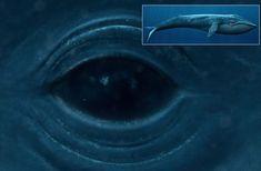 baby blue whale photos | Blue Whale Fun Facts