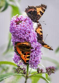 https://flic.kr/p/NC2Bd3   8270-small tortoiseshell butterflies -on-buddlea