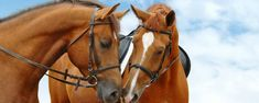 Two sport horses Photos two sorrel horses on blue sky by Horses and Dogs Wild Animals Photos, Funny Animal Photos, Horse Photos, Horse Pictures, Palomino, Horse Couple, Winter Horse, Clydesdale Horses, Horse Posters