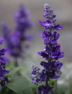 Salvia Farinacea Victoria Blue information, Victoria Blue Mealycup Sage information, Mealy cup sage Victoria Blue information, Salvia Farinacea Victoria, Salvia Victoria Small Flowers, Blue Flowers, Shade Garden, Garden Plants, Fountain Grass, Front Gardens, Gardening Magazines, Plant Information, Parts Of A Plant