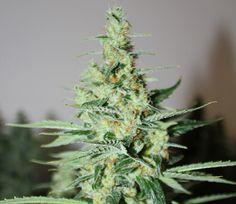 -High Time Cannabis Cup Winner- Rare Dankness Strains |TANGERINE TRAINWRECK HAZE | 5280mosli.com | Organic Cannabis College | Quality Top Shelf Marijuana #OrganicCannabis