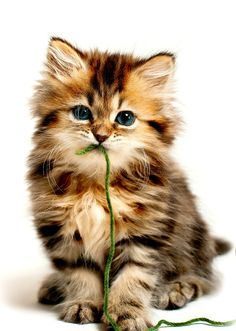 WATCH YOUR ANIMALS WITH STRING OR RIBBON...THEY CAN SWALLOW IT AND IT CAN BE FATAL !!!!  #Cats