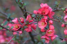 cognassier rose du japon