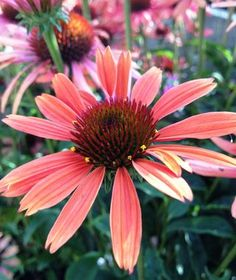 Echinacea_sundown #easytogrow in #texas