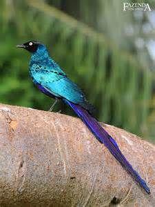 lamprotornis caudatus - Bing images