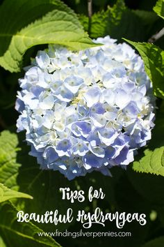 Hydrangeas are my favorite and I often get asked about our plants. Today I'm sharing tips for beautiful hydrangeas, they're easy to care for.