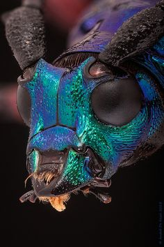 Blue green metallic longhorn