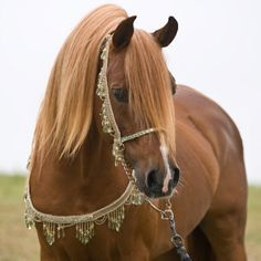 Gorgeous Arabian horse. Love the tack too