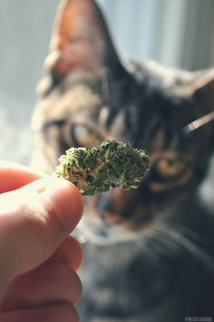 Put my weed down bro Weed Backgrounds, Smoke Photography, Gangster Girl, Buy Cannabis Online, Cats For Sale, Mary J, Stoner Girl, Stoner Humor, Smoking Weed