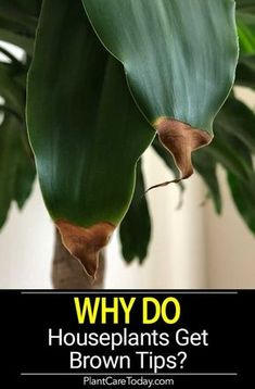 Ever wondered WHY houseplants get brown tips? Does it come from the plant moving inside, stress from reduced lighting, the plant acclimating, fertilizing or watering? [LEARN MORE] house plants Brown Tips on Houseplants Leaves - A Reason Why! Outdoor Plants, Potted Plants, Outdoor Gardens, Hanging Plants, Water Plants Indoor, Backyard Plants, Silk Plants, Shade Plants, Hanging Flower Pots