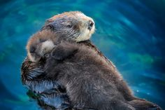 Sea otter mom and pup at the Monterey Bay Aquarium. Sea otter pups sleep on their moms. Cute Baby Animals, Funny Animals, Otter Pup, Otter Love, Baby Otters, Monterey Bay Aquarium, Wale, Tier Fotos, Spirit Animal