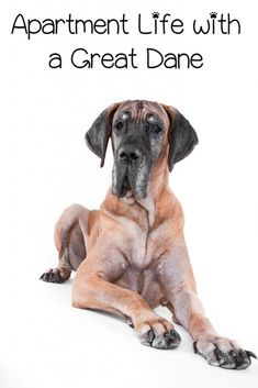 Apartment living with a Great Dane is far easier than you'd think. Apartment living is perfect for a Dane because of his laid back demeanor and low energy. Learn more!