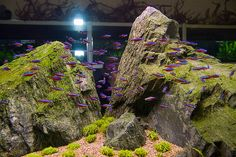 Cardinal Tetras, a nice change from neon tetras for a fresh water community aquarium