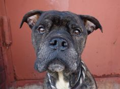 SUPER URGENT!! Brooklyn Center    PANDA - A0990039   MALE, BL BRINDLE / WHITE, PIT BULL MIX, 3 yrs  STRAY - STRAY WAIT, NO HOLD Reason STRAY  Intake condition NONE. This poor dog has had a rough life on the streets but is absolutely cuddly like a bear! Let's give him the love he deserves! https://www.facebook.com/photo.php?fbid=745156535497228&set=pb.152876678058553.-2207520000.1390403536.&type=3&theater