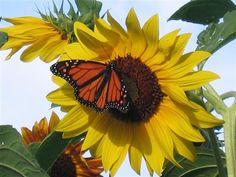 South Dakota sunflower and friend.