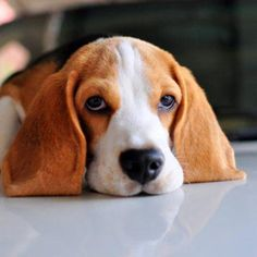 Are you interested in a Beagle? Well, the Beagle is one of the few popular dogs that will adapt much faster to any home. Whether you have a large family, playfu Animals And Pets, Cute Animals, Pocket Beagle, Easiest Dogs To Train, Beagle Puppy, Puppy Eyes, Training Your Dog, Training Tips, Dog Behavior
