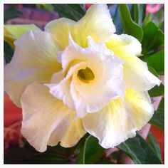 This plant is called a Desert Rose its very delicate and holds up very well to wear in your hair without wilting