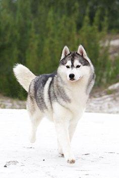Alaskan Husky Dogs Siberian Husky in the snow. Cant wait to get her in the snow :) Alaskan Husky Dogs Siberian Husky in the snow. Cant wait to get her in the snow :) Siberian husky Siberian Husky Puppies, Husky Puppy, Siberian Huskies, Wolf Husky, Alaskan Husky, Yorkshire Terrier Puppies, Snow Dogs, Working Dogs, Beautiful Dogs
