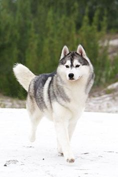 Siberian Husky in the snow...Looks just like my Keebah!! Cant wait to get her in the snow :)