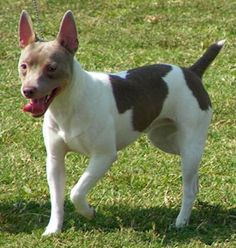 Dog profile for Sterling, a male Rat Terrier