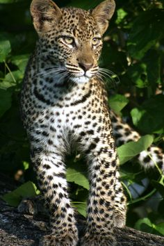 This curious young leopard came to say hello to a group on safari in Botswana