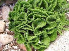 Rare Euphorbia flanaganii cristata- (Green Coral Euphorbia) by fran