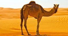 camel - Buscar con Google