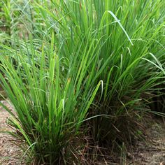 The anti-viral, anti-inflammatory effects of Aldehydes (such as lemongrass essential oil)
