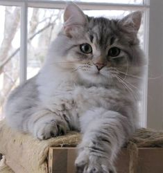 Magnificent photo of Siberian forest kitten Kittens Cute Kittens, Puppies And Kitties, Pretty Cats, Beautiful Cats, Siberian Forest Cat, Siberian Kittens, Tier Fotos, Cute Creatures, Cute Funny Animals