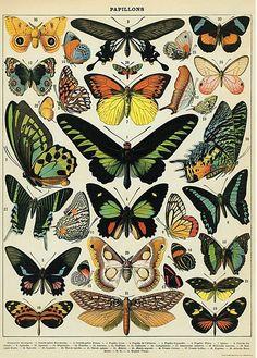 Cavallini & Co poster history of butterflies 50 x 70 cm | PSikhouvanjou