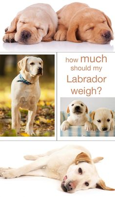 Find out what a healthy weight is for your Labrador