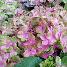 Hortensia - Hydrangea macrophylla Magical Amethyst