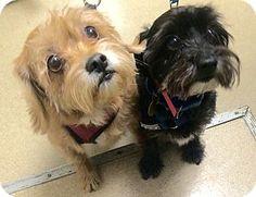 Bonded pair Chloe and Cole. 12/22/16. Oak Ridge, NJ - Yorkie, Yorkshire Terrier/Miniature Schnauzer Mix. Meet Cole, a dog for adoption. http://www.adoptapet.com/pet/17222040-oak-ridge-new-jersey-yorkie-yorkshire-terrier-mix