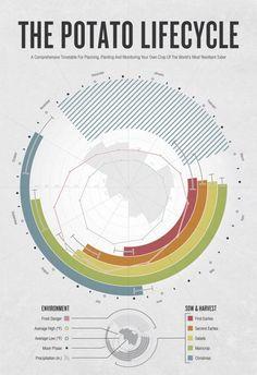 The Potato Lifecycle  Infographic