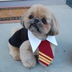 Harry Potter/ Dougie the Shih Tzu