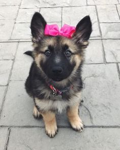 Double tap if you think I look cute in this bow Photo Credit: @lucyb_thegsd