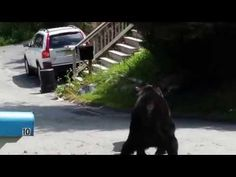 Watch these bears slug it out in the middle of a New Jersey suburb   Rare