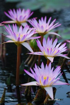 Más tamaños | Water Lily | Flickr: ¡Intercambio de fotos!