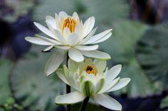 sio2par:  睡蓮 好きなお花のひとつです #睡蓮 #スイレン #waterlilly #flower #plants...